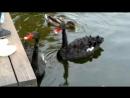 черные лебеди в Парке Горького сентябрь 2018