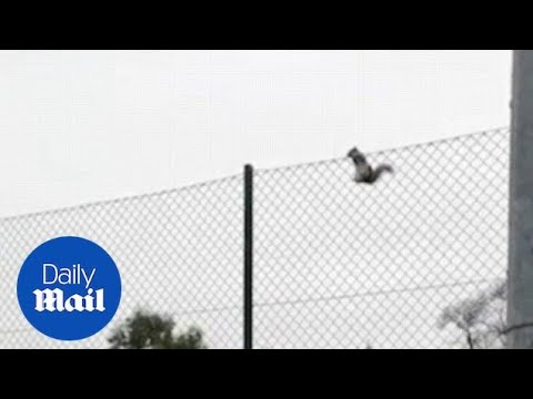 Moment squirrel makes SPECTACULAR leap to avoid two dogs