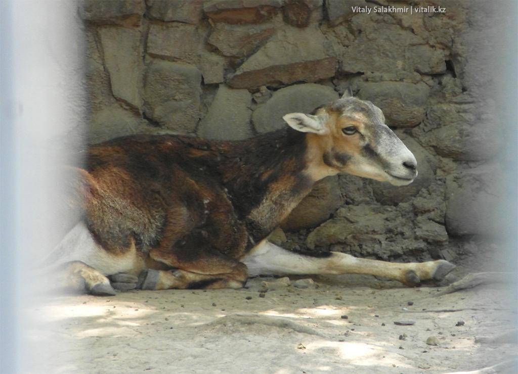 Европейский муфлон, зоопарк Алматы