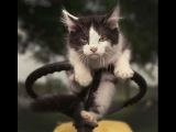 Приколы с котами и кошками Кот помогает нарядить елку!