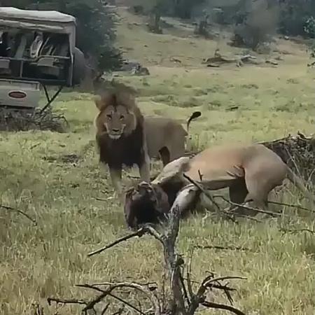 """Sevimli kediler on Instagram: """"Sonsuz düşmanlık . lion leo leon lions sırtlan king theking savage safari african africa aslan animals ..."""