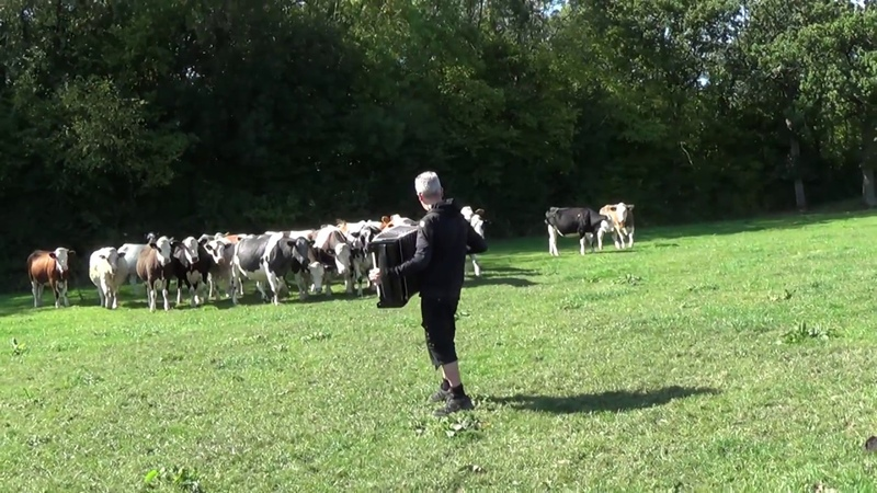 Cows Dig The Blues - Camera Person Freaks Out
