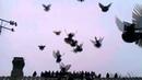 Торцовые голуби донецкая область