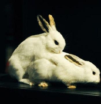Особенности вязки кроликов