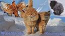 Koshlandia Siberian Farm cats Massage Therapy, Пуш массажирует Винни, Duo of Two Cats Tyoma vs Gray