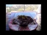 Как выращивают коноплю