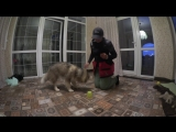 Самый милый в мире маламут Берта. Развивающие игры для собак. Стаканчики.