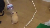 My hamster is dancin today can someone say what i do!