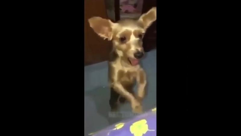 Собачьи танцы