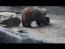 Медведь спас тонущую ворону