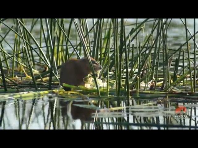 Видео о природе : водяная крыса видео Full HD