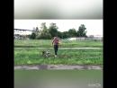 Тренировка Майка 🐕 Американский стаффордширский терьер.Mike training,American Staffordshire Terrier