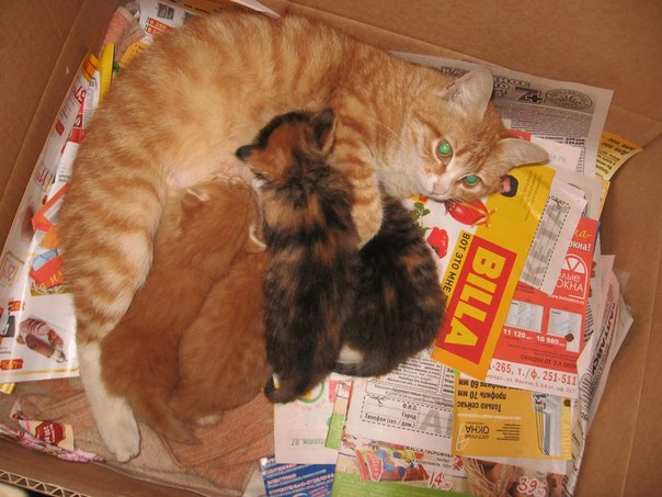 Помощь кошке при родах рыжая кошка с котятами в коробке