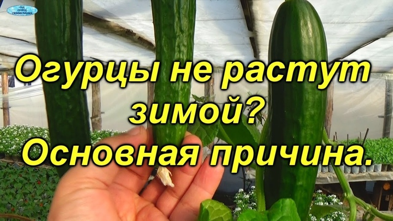 Огурцы зимой почему не вяжутся плоды зеленцы