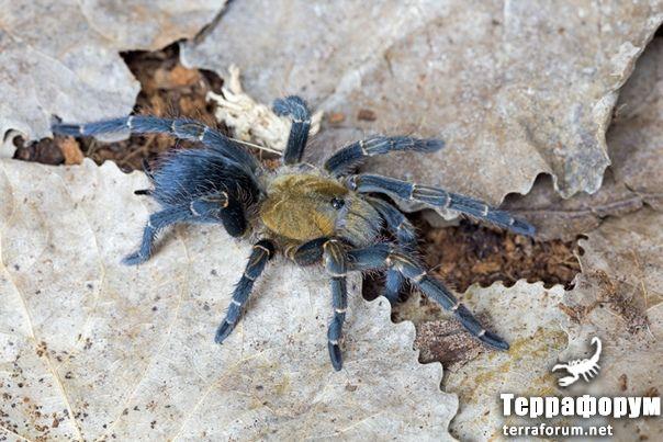 Pseudhapalopus trinitatis