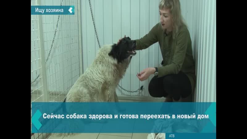 Собака Белка ищет дом