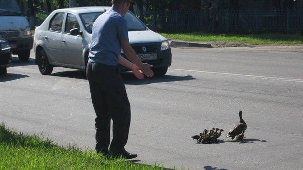 В Твери, для того, чтоб утка с утятами смогла перейти дорогу, гаишник временно приостановил движение на трассе.