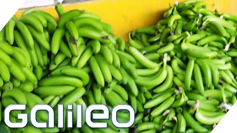 Bananen pflücken: So hart ist der Ernte-Job! | Galileo | ProSieben