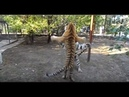 Тигриные разборки Tigers are trained to fight