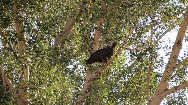 Взрослый орел-могильник у гнезда рядом со степным стационаром