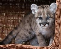 В Берлинском зоопарке пума впервые принесла потомство.