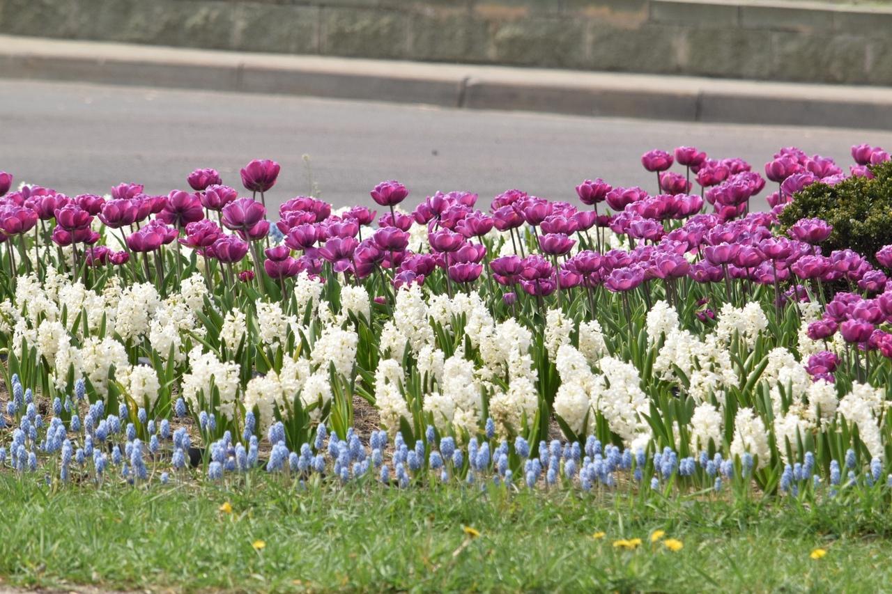 Сезон цветов в городе открыли тюльпаны. Все цвета радуги – уже на клумбах Бреста