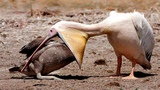 Pelican eats Duck and Big Fish, Heron vs Eagle, Secretary Bird vs Snake - BIG BATTLE of Birds