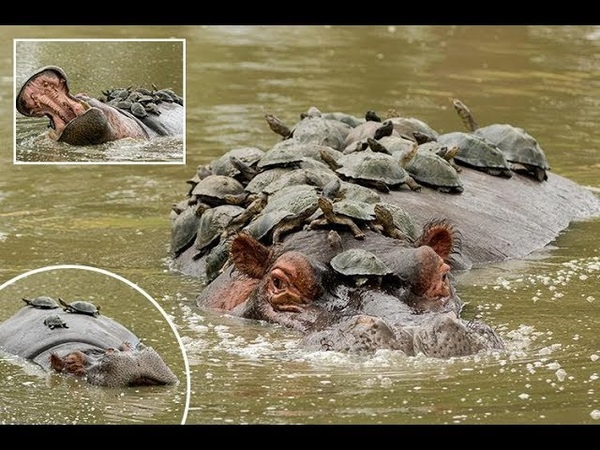 Cheeky terrapins hope to go turtley unnoticed as they climb aboard hippo to sunbathe