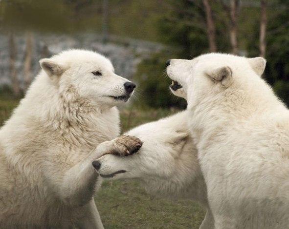 Волки это красивые одинокие существа