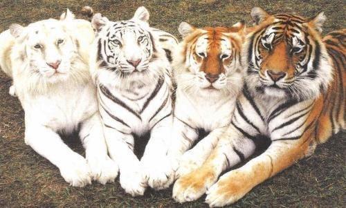 Четыре тигра. Позируют: альбинос, белый, золотой и бенгальский.