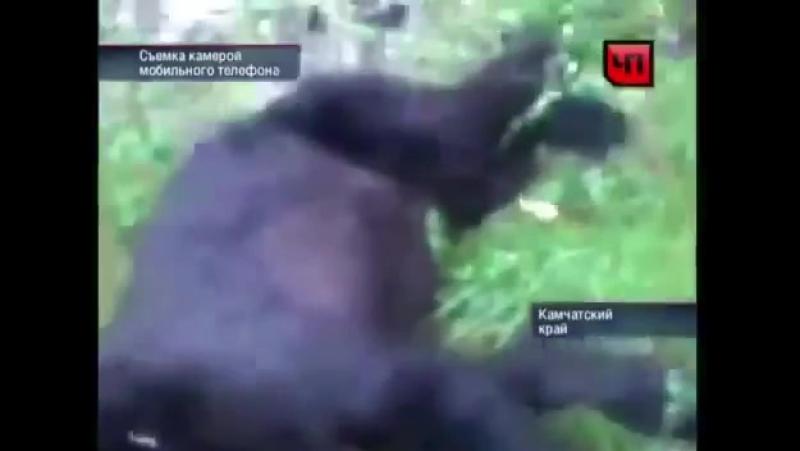 Медведя свалил сног самогон