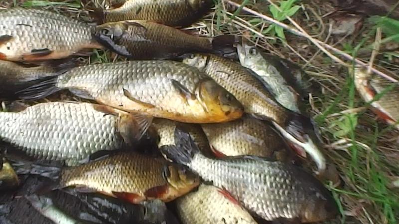 В О 2 09 18г Дача Карась Лов сачком Водоём для полива дач пересох а карась остался в маленькой луже Вот вся рыба