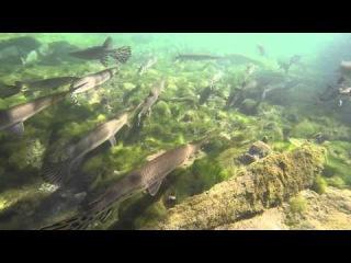 Подводная видеосъемка. Биотоп реки в Блю Спрингс Стэйт Парк. Штат Флорида. США