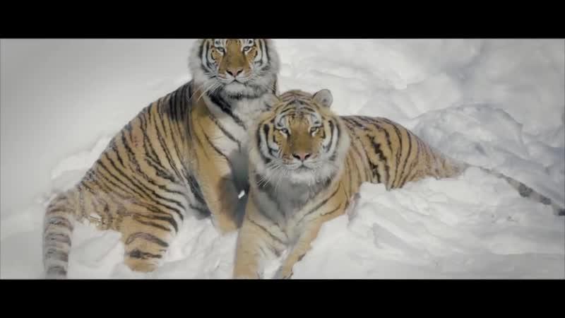 Амурские тигры устроили охоту на беспилотники, которые их снимали