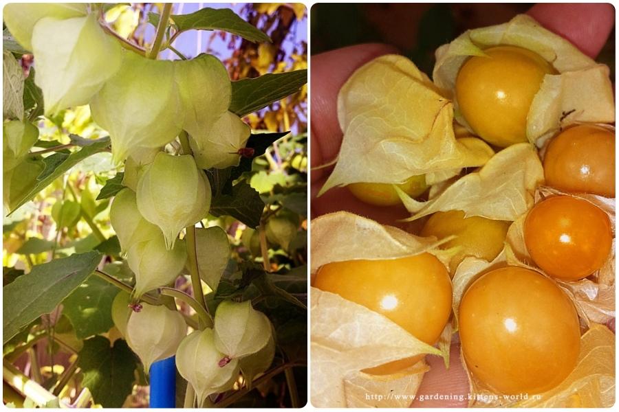 20 фактов о физалисе: выращивание, уход, хранение и рецепты с ним