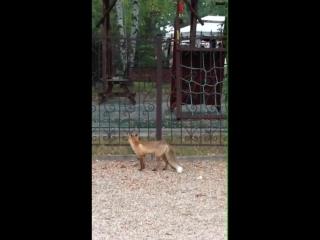 Ничего необычного. Просто в Бобруйске лисица приходит к ресторану за едой.Трижды в день!