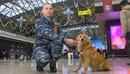 Вести: На стражу безопасности Аэрофлота заступили шалайки