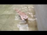 Капский варан купается в бассейне