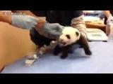Как кричит панда малыш