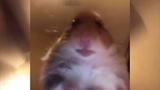 Staring Hamster In Heaven