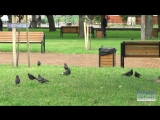 """Війна з """"парковими"""" птахами: чернігівцям заважають ворони"""