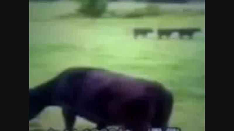 Vidéo d' une vache qui se fait enlever par un ovni