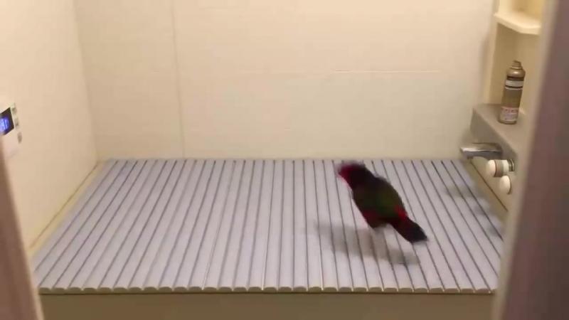 = Смешная реакция попугая на новую поверхность =