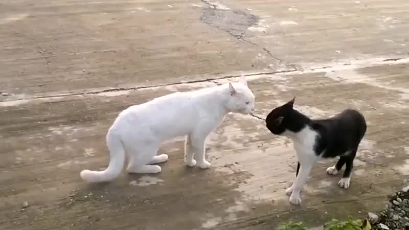 Кот с гоблинской осанкой наезжает на кот...ные) (Кош (480p).mp4