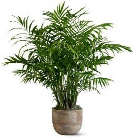 Хамедорея Уход за пальмой в домашних условиях фото видов