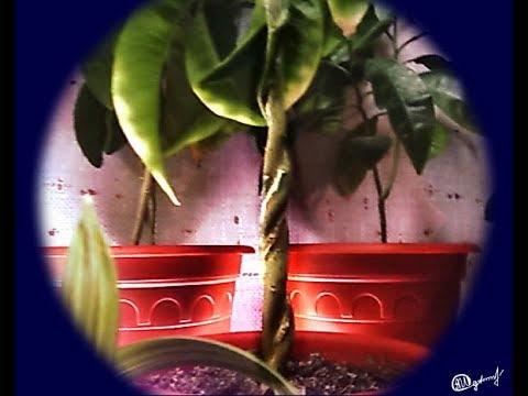 Бонсай как утолщить ствол двумя способами Bonsai how to thicken the trunk in two ways