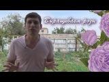 Как выращивать розы в домашних условиях из семян (технология)