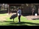 Inquisitive Emu Follows Man Around - 994372