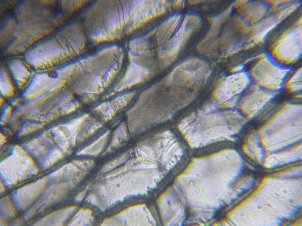 Кожица лука под микроскопом