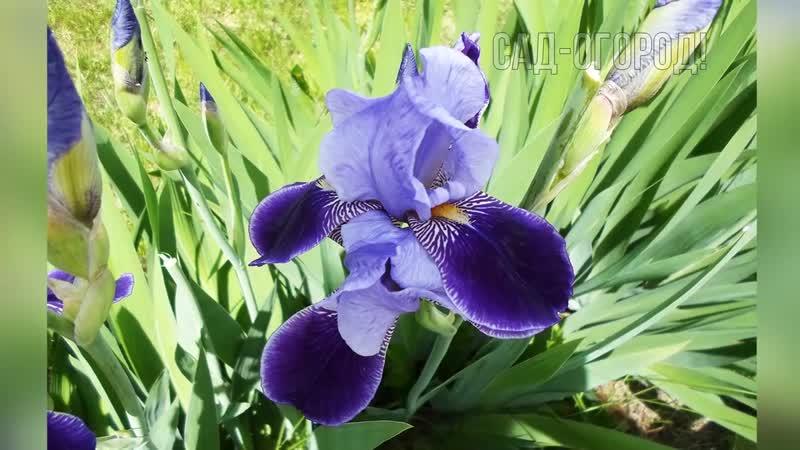 Сделайте это с ирисами осенью в октябре для красивейшего цветения на следующий г